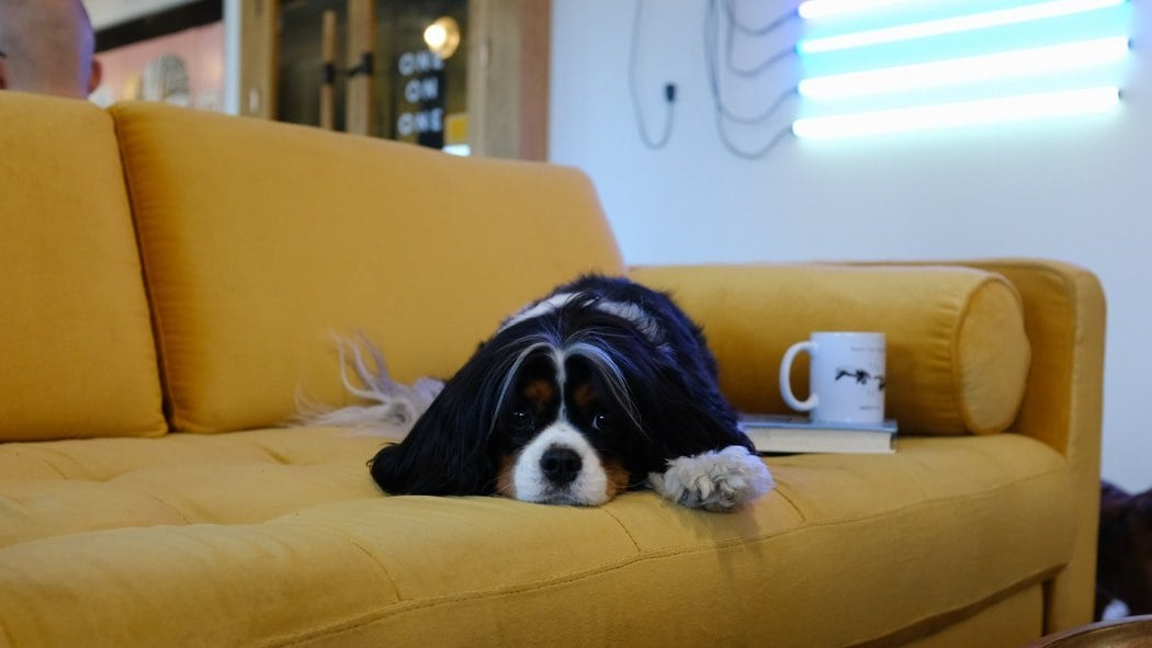A dog on a yellow sofa